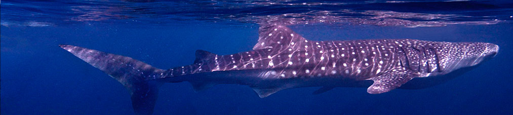 Be part of the 2015 whale shark season